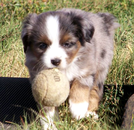 Australian Shephard North Bay Canine Rescue Amp Placement